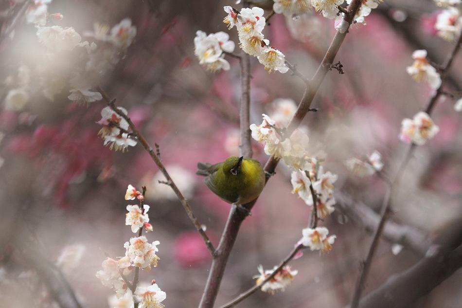 赤塚山の梅っつーか鳥22