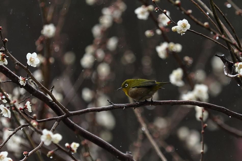 赤塚山の梅っつーか鳥21