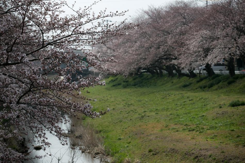 2014御油桜並木_-19