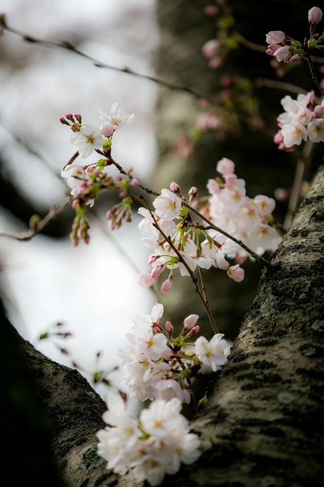 2014御油桜並木_-20