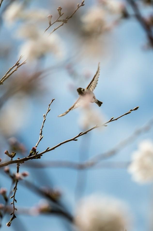2014御油桜並木_-18