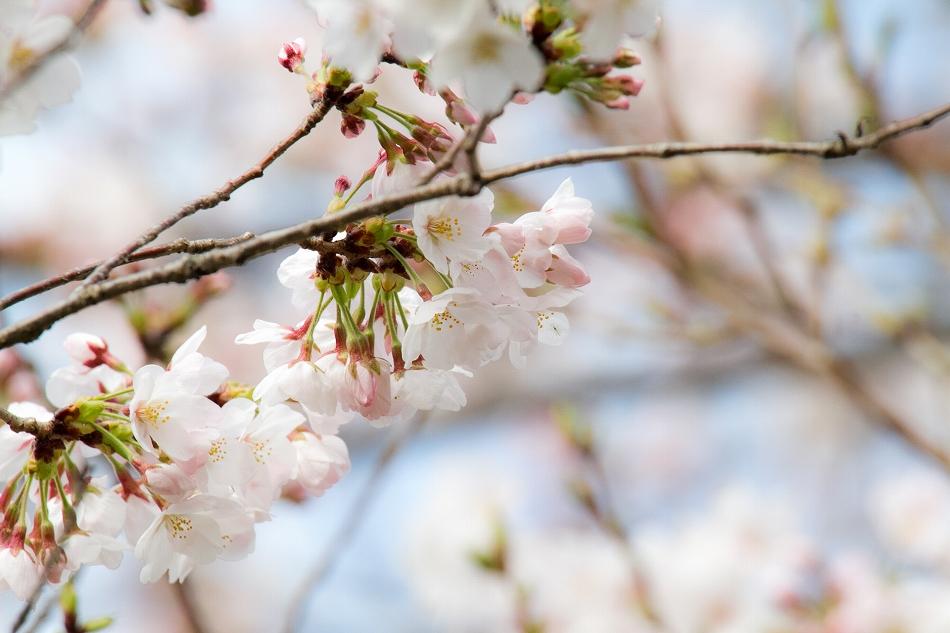 2014御油桜並木_-17