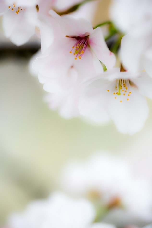 2014御油桜並木_-11