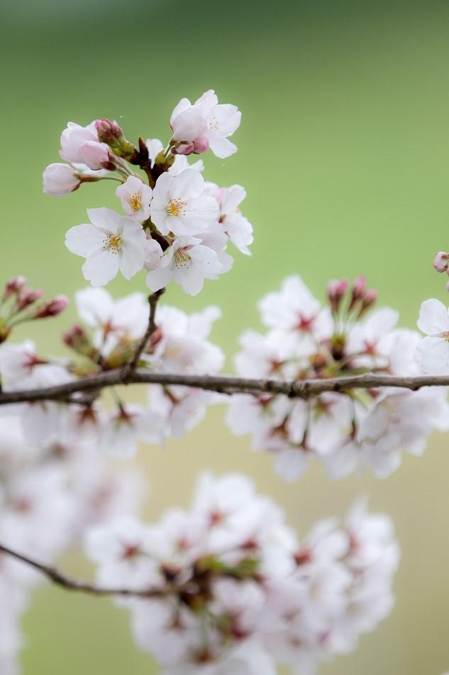 2014御油桜並木_-13
