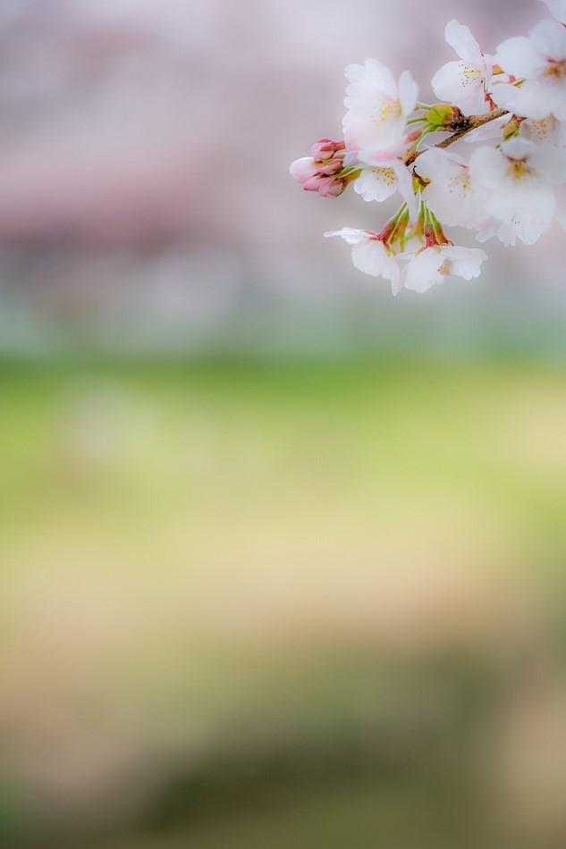 2014御油桜並木_-12