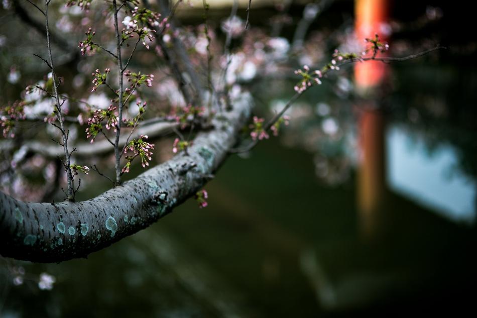 2014御油桜並木_-30