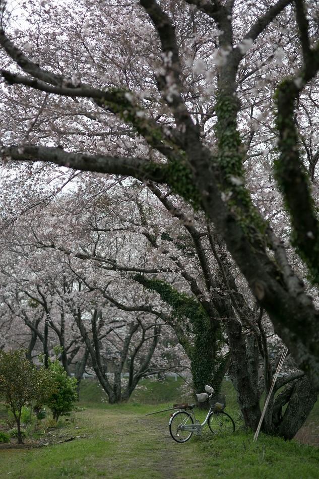 2014御油桜並木_-29