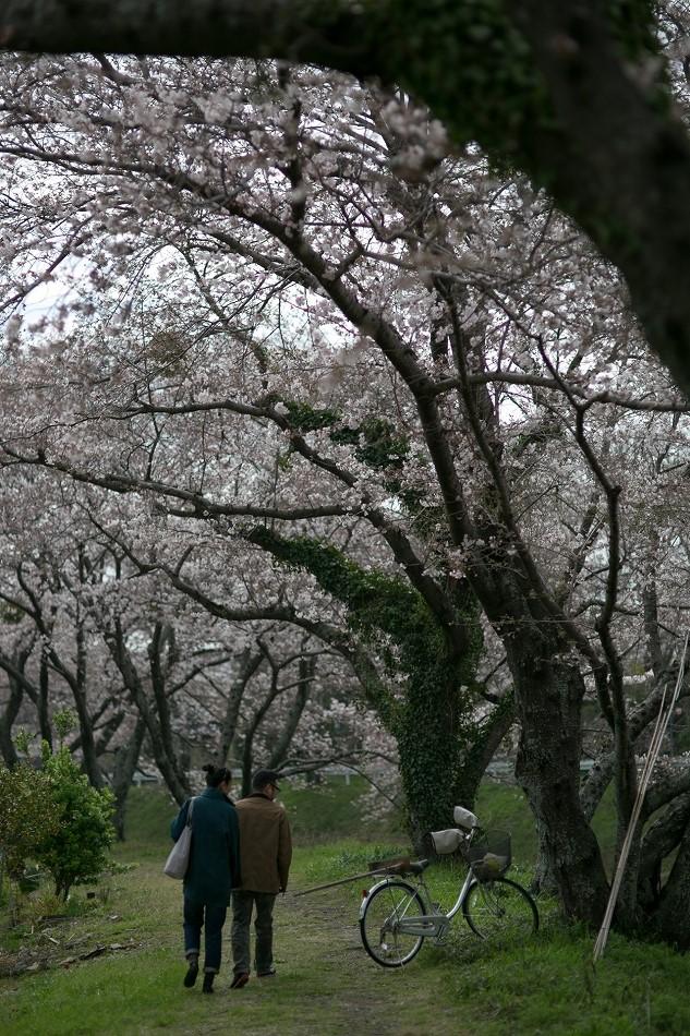 2014御油桜並木_-28