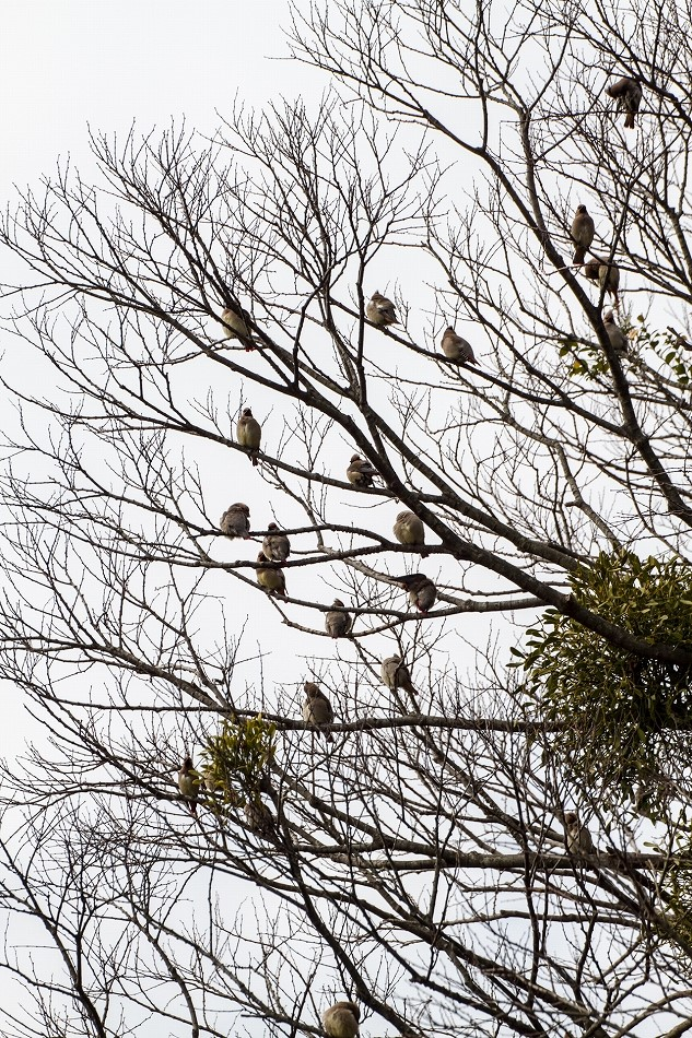 2014御油桜並木_-26