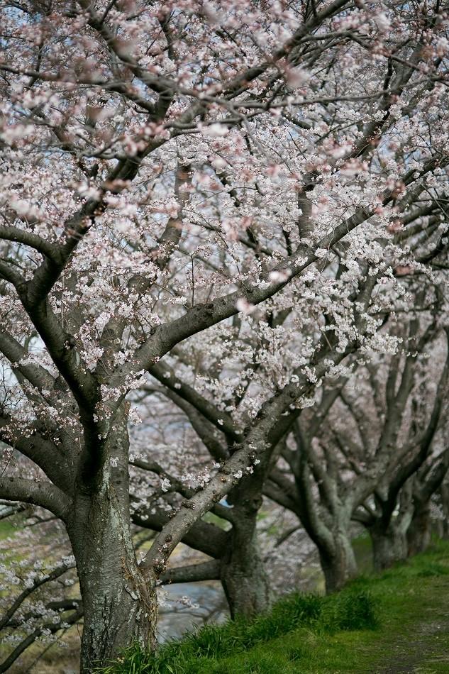 2014御油桜並木_-23