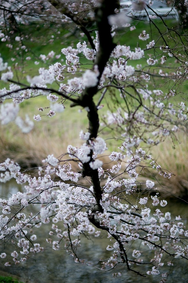 2014御油桜並木_-24
