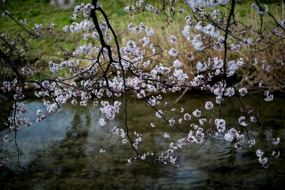 2014御油桜並木_-22