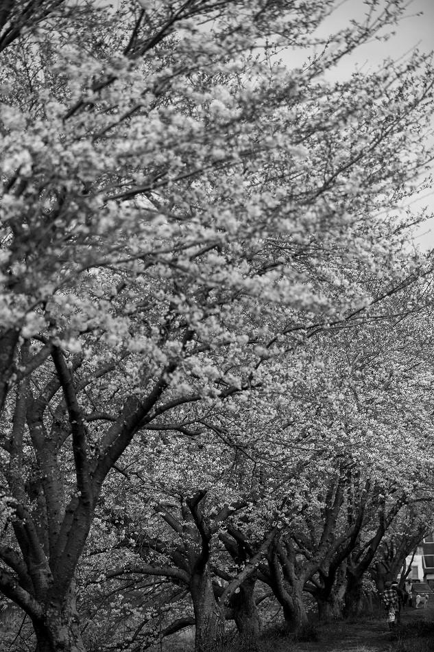 2014御油桜並木_-21