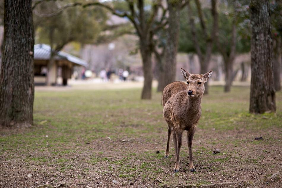 聞き分けが良い鹿-12