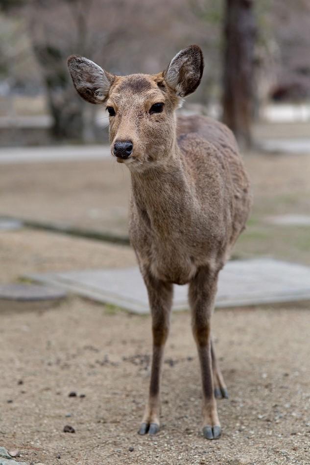 聞き分けが良い鹿-11