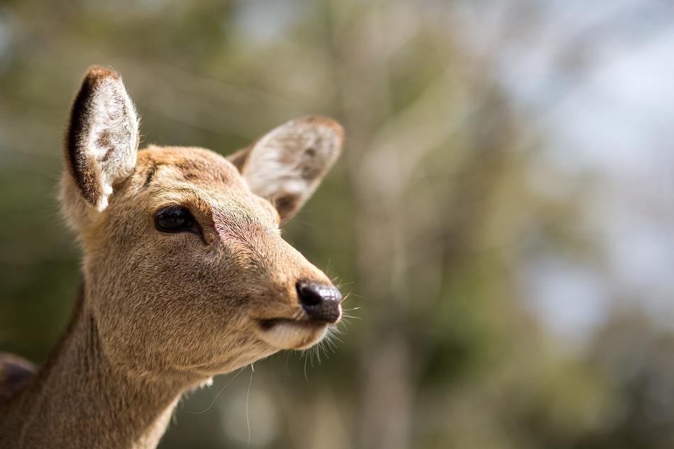 聞き分けが良い鹿-4