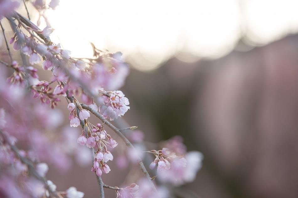 開花予想大外れの巻-10