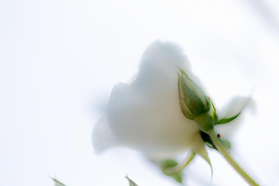 バラ飽きた-10