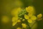 2014-03-01菜の花
