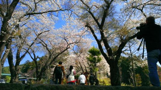 桜 浅間公園 桜並木