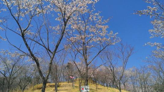 桜 真木お伊勢山 桜並木
