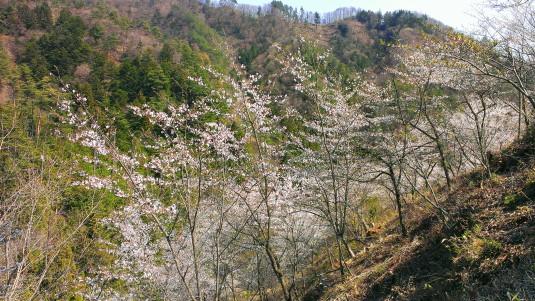 桜 真木お伊勢山 斜面の桜