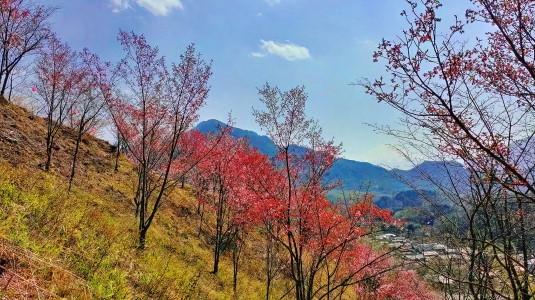 桜 真木お伊勢山 斜面の桜2