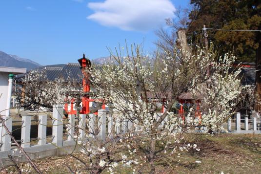天神天満宮 梅の花 白梅