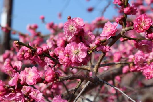 天神天満宮 梅の花 紅梅 ズーム