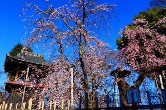 桜 宝寿院 しだれ桜と鐘楼