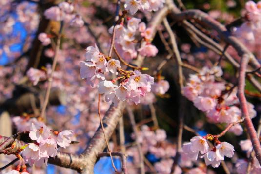 桜 宝寿院 拡大