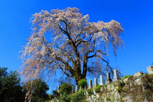 桜 原間のイトザクラ 外観