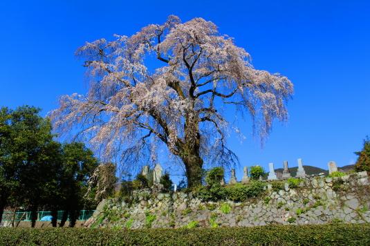 桜 原間のイトザクラ 茶畑
