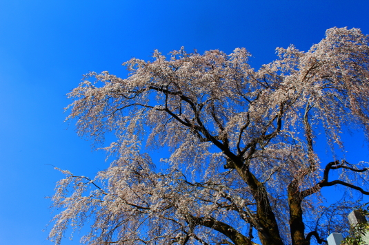桜 原間のイトザクラ 下から