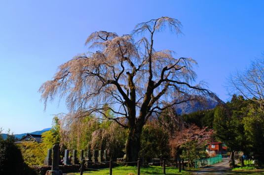 桜 原間のイトザクラ 全体