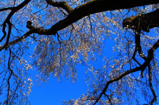桜 原間のイトザクラ 真下から