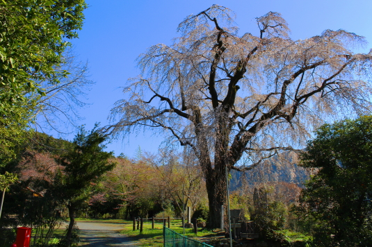 桜 原間のイトザクラ 入口