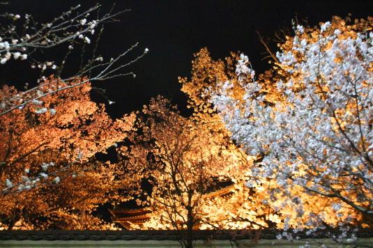桜 宝寿院 ライトアップ 鐘楼