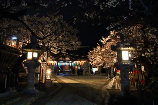 桜 宝寿院 ライトアップ 境内