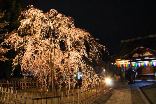 桜 宝寿院 ライトアップ しだれ桜