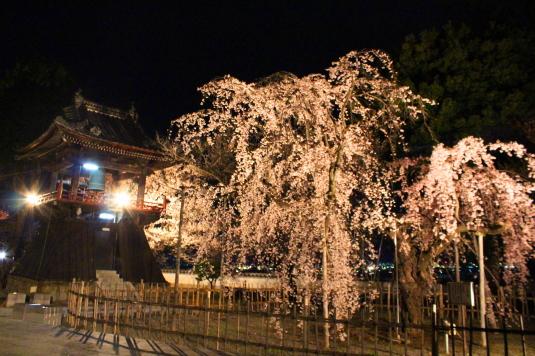 桜 宝寿院 ライトアップ しだれ桜と鐘楼