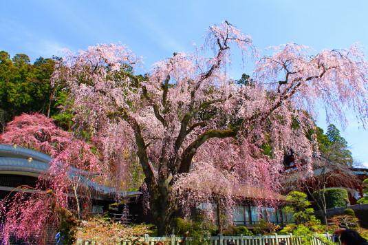 桜 久遠寺 しだれ桜
