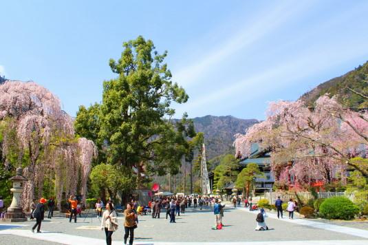 桜 久遠寺 しだれ桜と境内