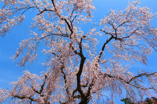 桜 久遠寺 しだれ桜 見上げる