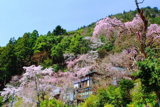 桜 身延山 周辺