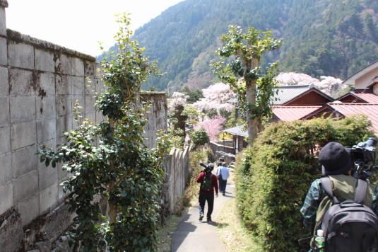 桜 身延山 横道