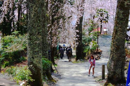 桜 身延山 桜道