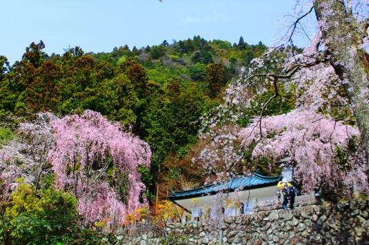 桜 身延山 桜とカメラマン