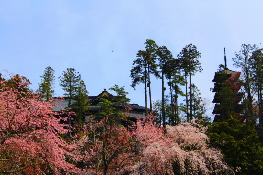 桜 身延山 桜と久遠寺