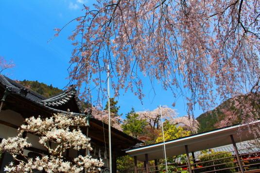 桜 身延山 桜と春の花